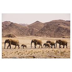 African Elephant (Loxodonta africana) herd crossin Poster