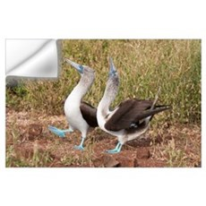 Blue-footed Booby (Sula nebouxii) pair in courtshi Wall Decal
