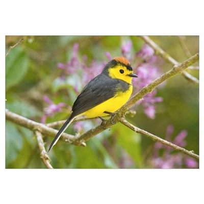 Collared Redstart (Myioborus torquatus), Costa Ric Canvas Art