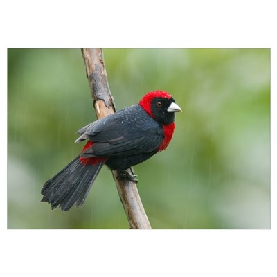 Crimson-collared Tanager (Ramphocelus sanguinolent Canvas Art