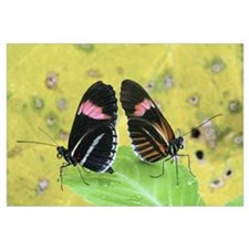 Crimson-patched Longwing (Heliconius erato) butter
