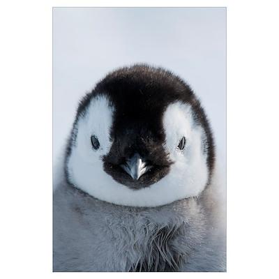 Emperor Penguin (Aptenodytes forsteri) chick, Pryd Poster