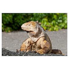 Galapagos Land Iguana (Conolophus subcristatus) ba Poster