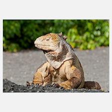 Galapagos Land Iguana (Conolophus subcristatus) ba