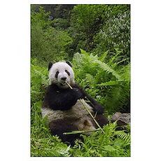 Giant Panda (Ailuropoda melanoleuca) eating bamboo Poster