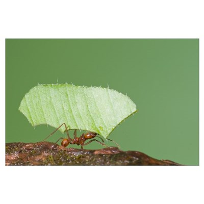 Leafcutter Ant (Atta sp) carrying leaf, Costa Rica Poster