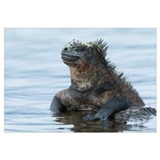 Marine Iguana on rock in shallow water, Galapagos