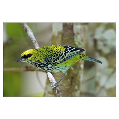Speckled Tanager (Tangara guttata), Costa Rica Poster