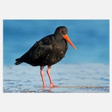 Variable Oystercatcher, Opoutere Beach, Coromandel