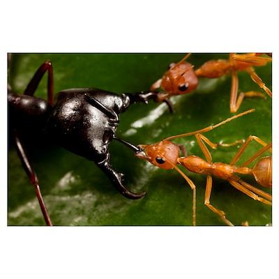 Weaver Ant pair defending against Driver Ant attac Poster