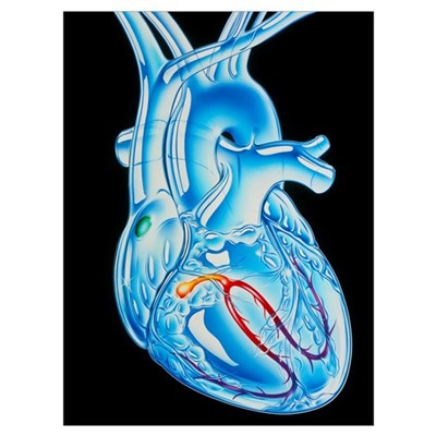 Illustration of electrical conduction in the heart Framed Print