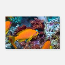 Lyretail anthias females - Car Magnet