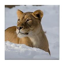 Female Lion in Snow Tile Coaster