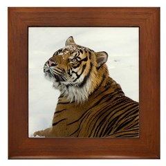 Tiger Laying In Snow Framed Tile