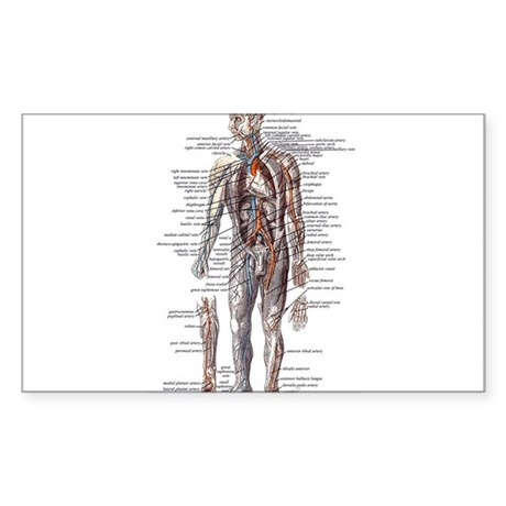 Anatomy of the Human Body Sticker (Rectangle)