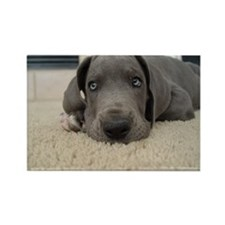 Cute Blue great dane Rectangle Magnet