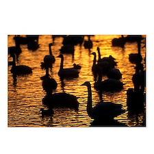 Whooper swans - Postcards