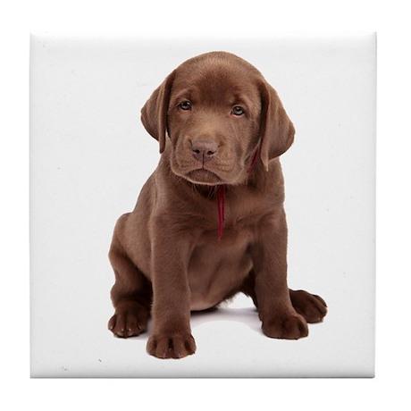 Chocolate Labrador Puppy. Tile Coaster