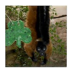 Red Ruffed Lemur with Shamrock Tile Coaster