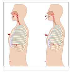 Mechanics of respiration, diagram Poster