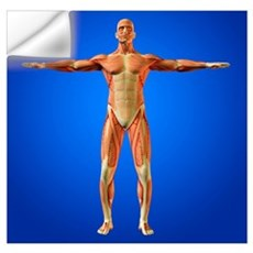 Muscular system Wall Decal