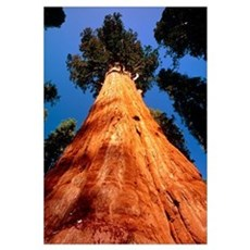 Giant Sequoia 'General Sherman' Poster