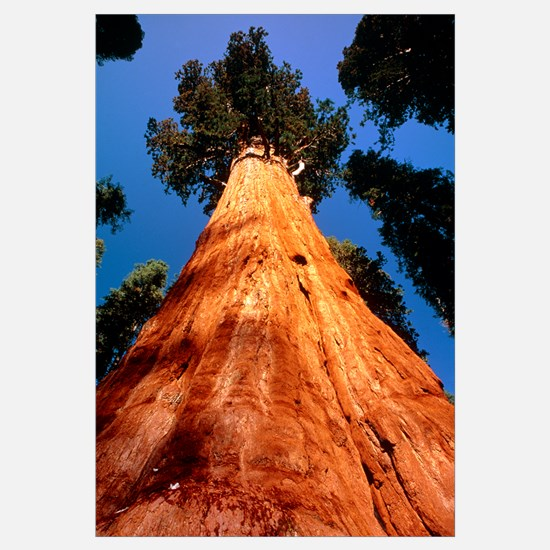 Giant Sequoia 'General Sherman'