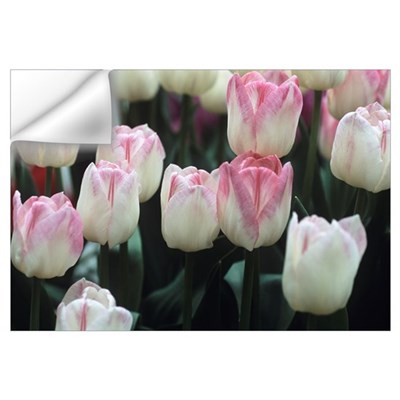 Tulipa 'Meissner Porzellan' flowers Wall Decal