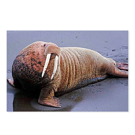 Walrus Postcards (Package of 8)