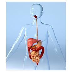Digestive system, artwork Poster