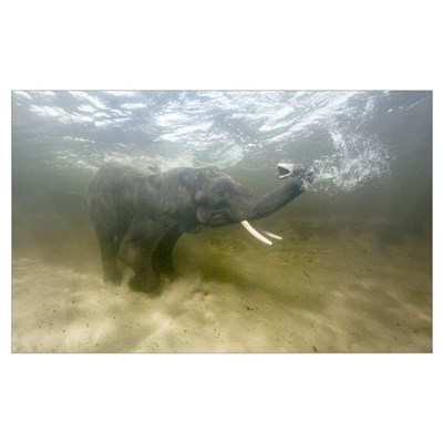 African elephant swimming Framed Print