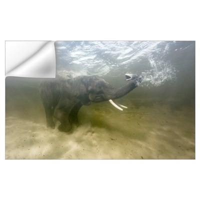 African elephant swimming Wall Decal