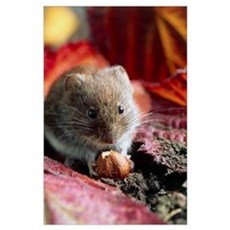 Bank vole eating a nut Poster