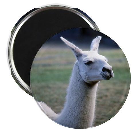 Llama (photo) Magnet
