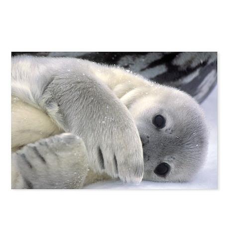Seal Pup Antarctica Postcards (Package of 8)