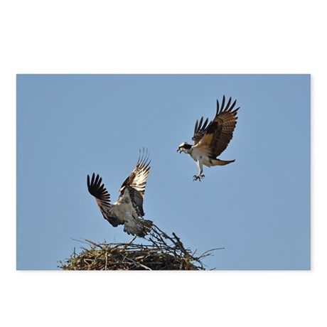 Osprey fighting Postcards (Package of 8)