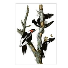 Ivory Billed Woodpeckers Postcards (Package of 8)