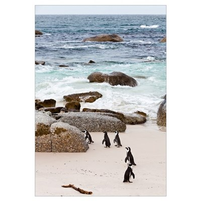 Black-footed African Penguins On The Beach Canvas Art