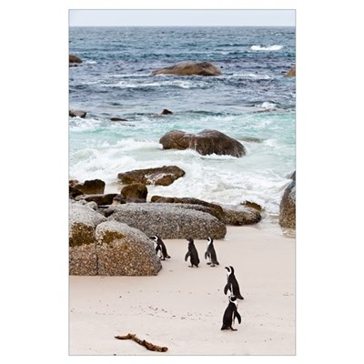 Black-footed African Penguins On The Beach Poster