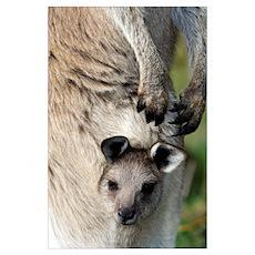 Eastern grey kangaroo joey Poster