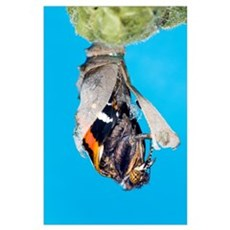 Emerging red admiral butterfly Poster