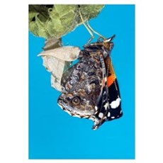 Emerging red admiral butterfly Framed Print