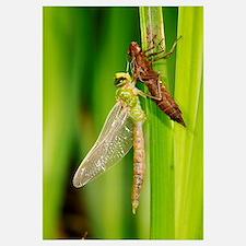 Emperor dragonfly metamorphosis