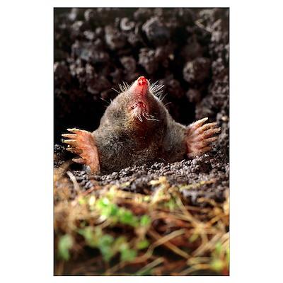 European mole Poster