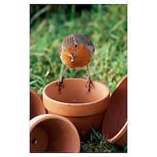 European robin on a flowerpot Poster