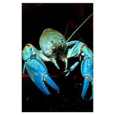 Freshwater crayfish Poster