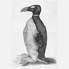 Great Auk (Pinguinus impennis), engraving