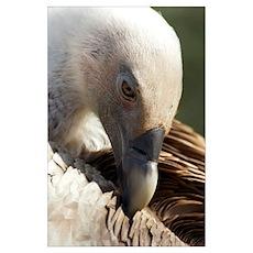Griffon vulture preening Poster