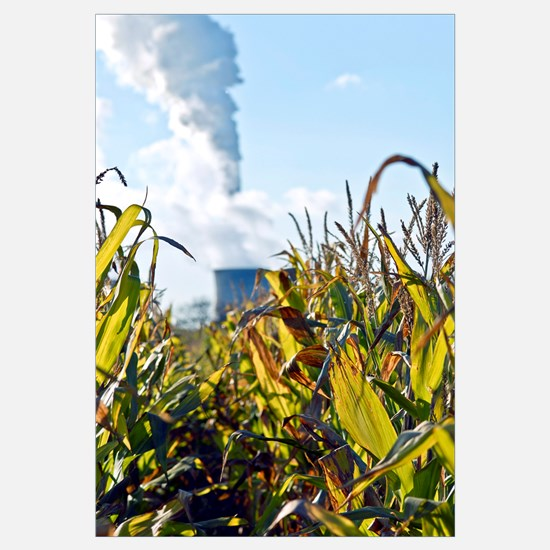 Growing maize for biofuel