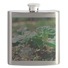 Brussels sprout plant - Flask